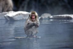 Macaco da neve em Jigokudani perto de Nagano, Japão fotografia de stock royalty free