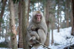 Macaco da neve da montanha Fotografia de Stock Royalty Free