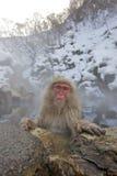 Macaco da neve na mola quente Fotografia de Stock Royalty Free