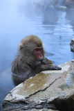 Macaco da neve no onsen Imagem de Stock