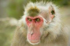 Macaco da neve ou macaque japonês Imagem de Stock