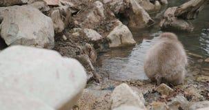Macaco da neve que escolhe sementes e grão da areia ao lado de um córrego ou lagoa em Japão vídeos de arquivo