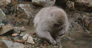 Macaco da neve que escolhem sementes e grão da areia ao lado de um córrego ou lagoa em um dia de inverno frio em Japão filme