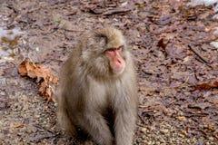 Macaco da neve que senta-se no trajeto Foto de Stock Royalty Free