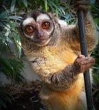 Macaco da noite fotografia de stock