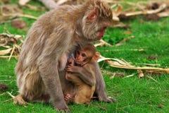 Macaco de alimentação Imagens de Stock Royalty Free