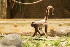 Macaco de aranha Fotos de Stock