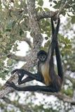 Macaco de aranha da América Central do macaco ou do Geoffroys de aranha, Atele Imagem de Stock