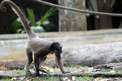 Macaco de aranha de Brown fotografia de stock royalty free