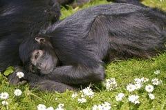 Macaco de aranha de cabeça negra do close up Fotos de Stock
