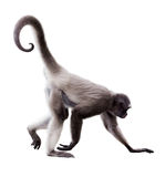 Macaco de aranha de cabelos compridos fotografia de stock