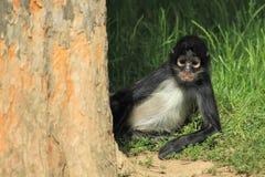 Macaco de aranha de Geoffroy Fotos de Stock
