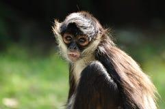 Macaco de aranha de Geoffroy (geoffroyi do Ateles) Fotos de Stock Royalty Free