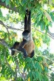 Macaco de aranha nicaraguense Imagem de Stock Royalty Free