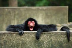 Macaco de aranha que boceja fotografia de stock