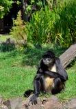 Macaco de aranha que senta-se na grama verde Imagem de Stock Royalty Free
