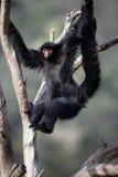 macaco de aranha Vermelho-enfrentado, paniscus do Ateles fotografia de stock