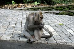 Macaco de Bali que come sua pr?pria cauda foto de stock royalty free