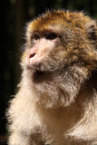 Macaco de Barbary Foto de Stock Royalty Free