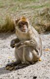 Macaco de Barbary que senta-se no concreto Fotos de Stock Royalty Free