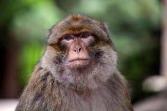 Macaco de Barbary, sylvanus do Macaca Imagem de Stock