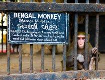 Macaco de Bengal atrás das barras no jardim zoológico com expressão triste em sua cara Fotos de Stock