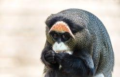 Macaco de De Brazza, um primata atrativo com pele distintiva foto de stock