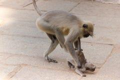 Macaco de cauda longa que bate suas crianças Foto de Stock