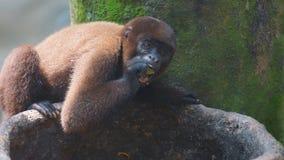 Macaco de Chorongo que come o fruto Nomes comuns: Macaco felpudo, macaco de Chorongo fotos de stock