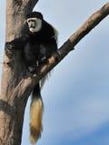 Macaco de Colobus Fotos de Stock Royalty Free