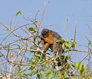 Macaco de Colobus vermelho adormecido na árvore Fotografia de Stock