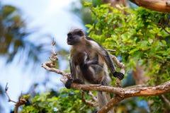 Macaco de colobus vermelho com beb? zanzibar imagem de stock