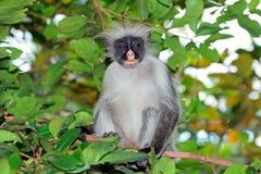 Macaco de colobus vermelho de Zanzibar Imagens de Stock Royalty Free