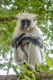 Macaco de Colobus vermelho em um ambiente natural, Zanzibar fotos de stock