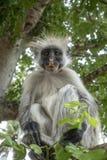 Macaco de Colobus vermelho em um ambiente natural, Zanzibar fotos de stock royalty free