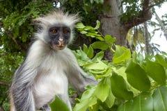 Macaco de Colobus vermelho em um ambiente natural, Zanzibar imagens de stock royalty free