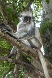 Macaco de Colobus vermelho em um ambiente natural, Zanzibar foto de stock royalty free