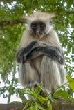 Macaco de Colobus vermelho em um ambiente natural, Zanzibar fotografia de stock