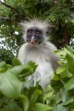Macaco de Colobus vermelho em um ambiente natural, Zanzibar imagem de stock