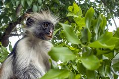 Macaco de Colobus vermelho em um ambiente natural, Zanzibar imagem de stock royalty free
