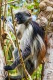 Macaco de Colobus vermelho na árvore Fotos de Stock Royalty Free