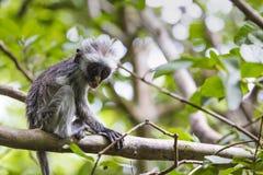 Macaco de colobus vermelho posto em perigo de Zanzibar (kirkii) de Procolobus, Joza fotos de stock