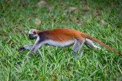 Macaco de Colobus vermelho que corre na grama imagens de stock royalty free