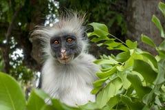 Macaco de Colobus vermelho - retrato, fim acima em um ambiente natural, Zanzibar foto de stock royalty free
