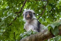 Macaco de Colobus vermelho - retrato, fim acima em um ambiente natural, Zanzibar imagem de stock royalty free