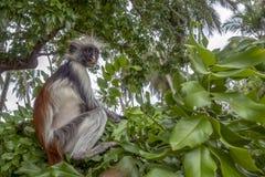 Macaco de Colobus vermelho - retrato, fim acima em um ambiente natural, Zanzibar fotografia de stock