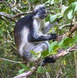Macaco de Colobus vermelho, Zanzibar fotos de stock