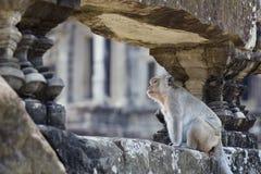Macaco de Cynomolgus que inspeciona ruínas Fotos de Stock