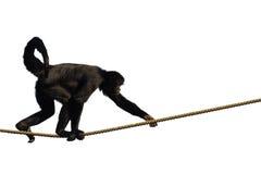 Macaco de escalada Fotografia de Stock Royalty Free