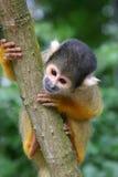 Macaco de esquilo fotografia de stock royalty free